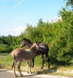 Konia i osła dotyk Zdjęcia Royalty Free