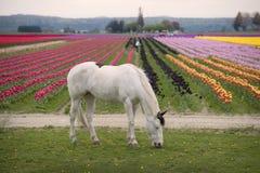 Konia i tulipanu pole Obrazy Royalty Free