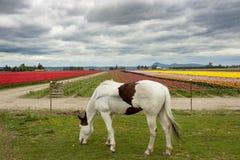 Konia i tulipanu pole Obraz Royalty Free