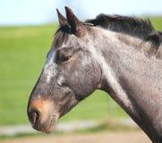 konia kierowniczy profil s Zdjęcia Stock