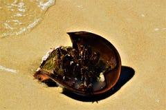 Konia obuwiany krab podrzucał nad myć up na brzeg obraz stock