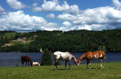 konia paśnik Fotografia Stock