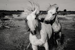 Konia pościg Fotografia Royalty Free