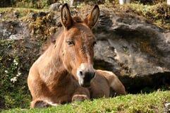 Konia relaksować Fotografia Royalty Free