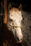 Konia stoiskowy portret Obrazy Stock