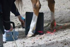 Konia weterynarza badanie z promieniowaniem rentgenowskim w kalekim koniu koń może już nie chodzić obraz stock