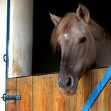 Konia zamknięty up Zdjęcia Stock