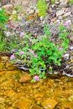 Koniczyn menchie na brzeg rzeki Obrazy Stock