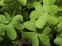 koniczyn raindrops Zdjęcia Stock
