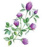 Koniczyna kwiaty Fotografia Stock