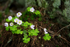 koniczyna kwiaty Zdjęcia Stock