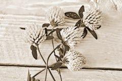 Koniczyna kwitnie na białym tle zdjęcie royalty free