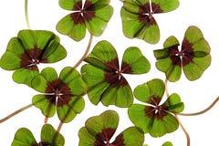 koniczyna liściasta cztery Fotografia Stock