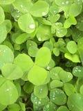 Koniczyna liście po deszczu Obrazy Stock