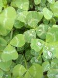 Koniczyna liście po deszczu Fotografia Royalty Free