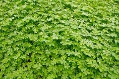 koniczynowa świeża zieleń Zdjęcia Stock