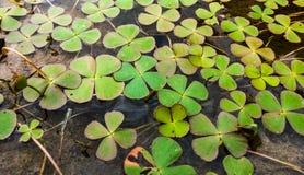 Koniczynowa roślina w krystalicznej wodzie Obrazy Stock