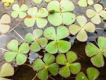 Koniczynowa roślina w wodzie Zdjęcia Stock