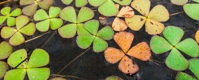 Koniczynowa roślina w wodzie Obrazy Royalty Free
