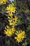 Koniczynowe lub żółte azalie fotografia stock