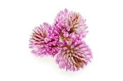 Koniczynowy kwiat Obraz Royalty Free