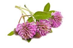 Koniczynowy kwiat Fotografia Stock