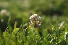 Koniczynowy kwiat Zdjęcia Stock