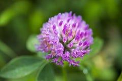 Koniczynowy kwiat makro- Zdjęcie Stock