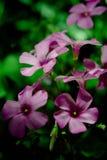 Koniczynowy kwiat - Nemocà ³ n Fotografia Stock