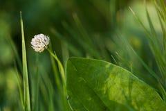 Koniczynowy kwiat w trawie Zdjęcie Stock