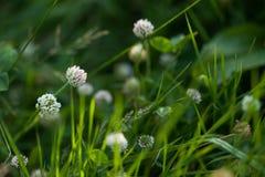Koniczynowy kwiat w trawie Zdjęcia Royalty Free