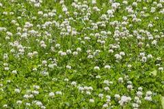 Koniczynowy kwiatu pole Fotografia Royalty Free