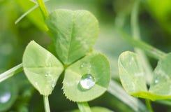 Koniczynowy liść z rosą zdjęcia stock
