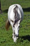 koniczynowy pastwiskowy koński biel Obraz Stock