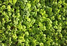 koniczyny pola zieleń Obraz Royalty Free