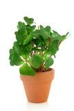 koniczyny roślina cztery Fotografia Royalty Free