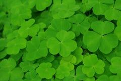 koniczyny zieleń Zdjęcie Royalty Free