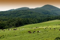 konie łąkowi Zdjęcia Stock
