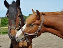 konie żyją Obraz Royalty Free