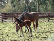 konie Fotografia Royalty Free