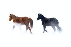 konie Zdjęcie Stock