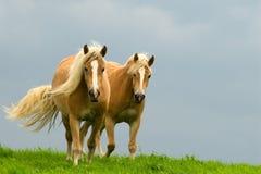 konie Obraz Royalty Free