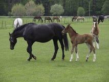 Konie obrazy royalty free