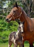 Konie 226 Obrazy Royalty Free