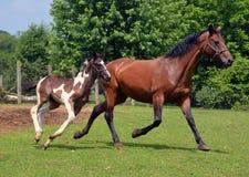 Konie 302 Zdjęcia Stock