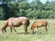 Konie Fotografia Stock