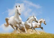 konie biały Zdjęcia Royalty Free