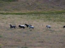 Konie biega swobodnie przy parkiem narodowym Północny Pindos Zdjęcie Stock