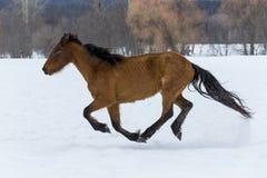 Konie biega w śniegu Obrazy Stock