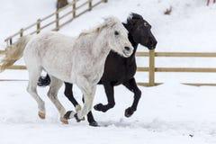 Konie biega w śniegu Zdjęcia Stock